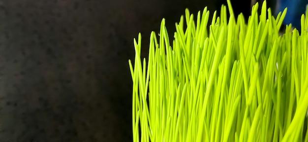 ポットの新鮮な緑の小麦草植物のクローズアップ。生小麦草