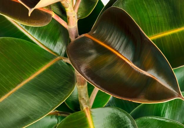 신선한 인도 고무 식물 잎의 근접 촬영