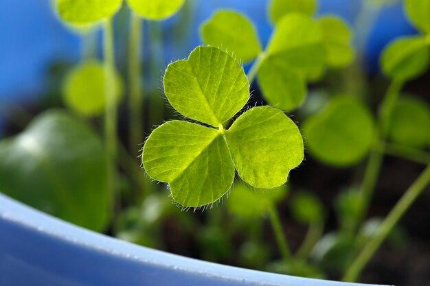 잔디 클로버의 신선한 콩나물의 근접 촬영입니다. 휴일 성 패트릭의 날의 상징