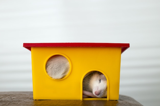 黄色のプラスチック製のペットの家で眠っている長いひげを持つ面白い白い国産ネズミのクローズアップ。
