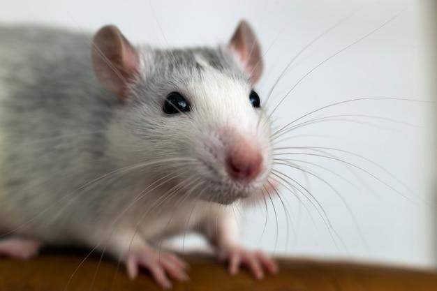 長いひげを持つ面白い白い国産ネズミのクローズアップ。