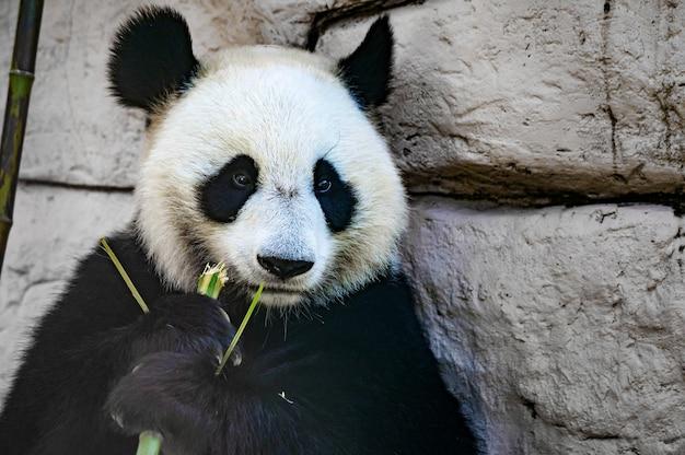 竹の棒を食べるジャイアントパンダのクローズアップ