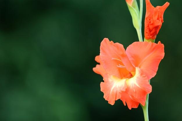 글라디올러스 꽃의 근접 촬영