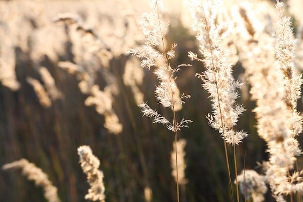 태양열 최소한의 자연 구성 야외 건조와 황금 팜파스 풀의 근접 촬영
