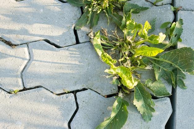 Крупный план серых бетонных плит двора или тротуара и больших заводов зеленой засорителя растя между бетонными плитками весной. начало новой жизненной концепции.