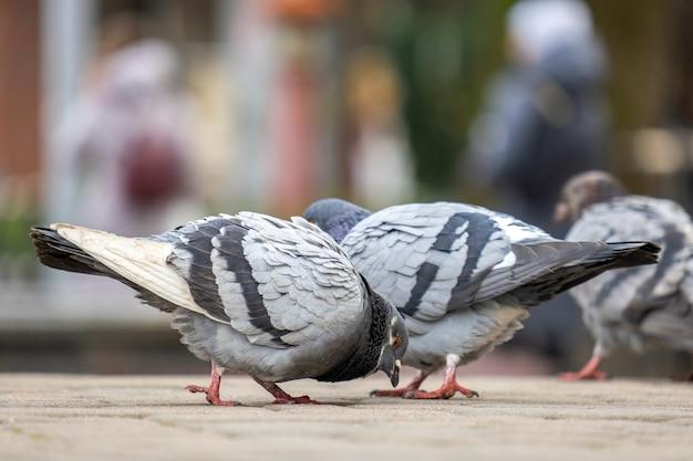 음식을 검색하는 도시 거리에 걷는 회색 비둘기 새의 근접 촬영.