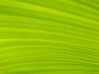 Closeup of green and yellow palm leaves texture background