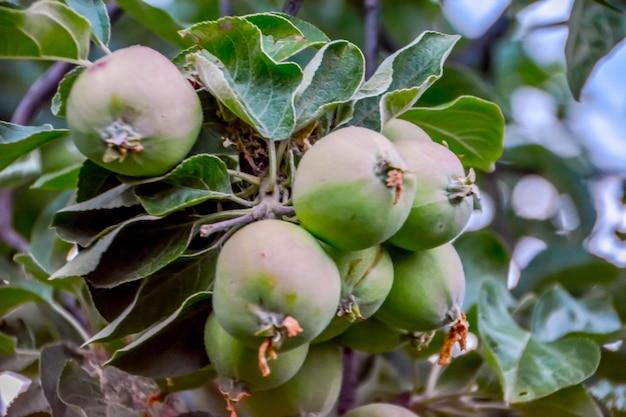 과수원의 나뭇가지에 있는 녹색 사과 클로즈업