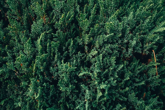 森の中の緑のモミの木の枝のクローズアップ