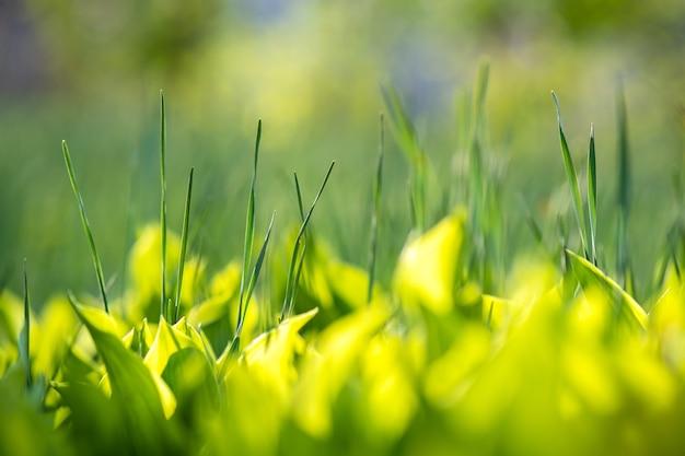 夏の芝生の緑の草の茎のクローズアップ。
