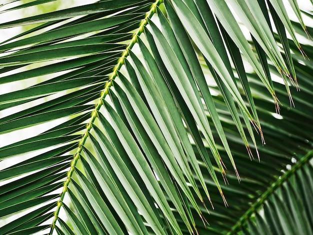 ヤシの木の緑の葉のクローズアップ熱帯の背景