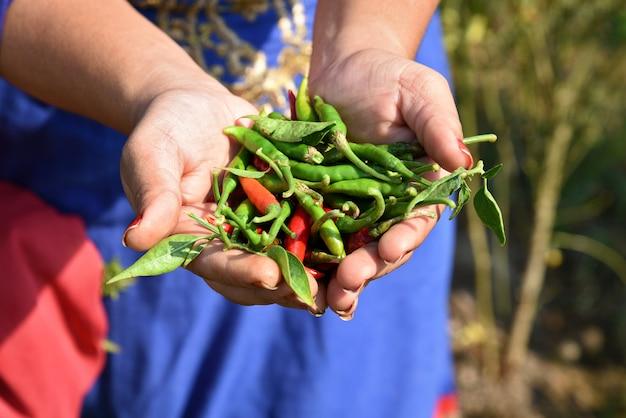 Крупный план зеленого органического перца chili держа в руке молодого фермера на поле фермы,