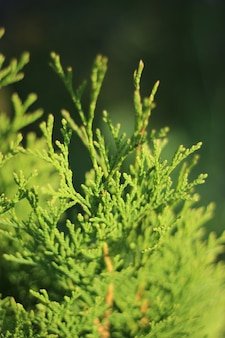 Крупным планом зеленые залитые солнцем веточки туи западных