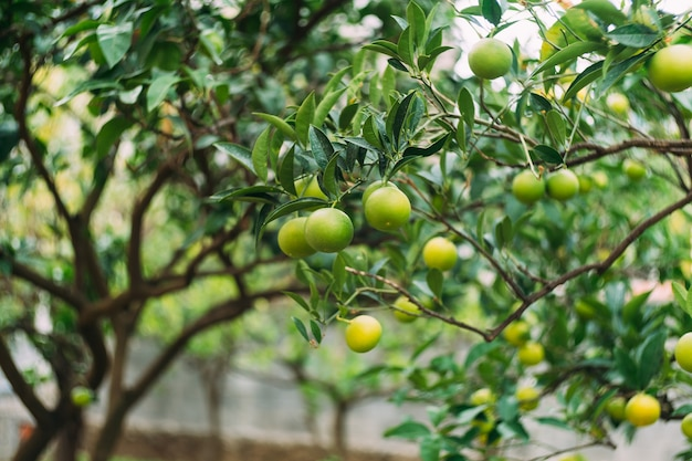 Крупным планом зеленые мандарины на ветвях деревьев