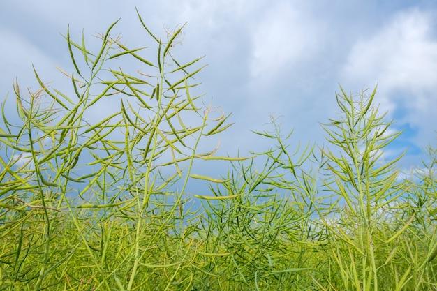 흐린 푸른 하늘 배경에 녹색 설익은 유채 기름의 근접 촬영
