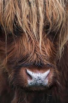 毛むくじゃらのスコットランドのハイランド牛のクローズアップ