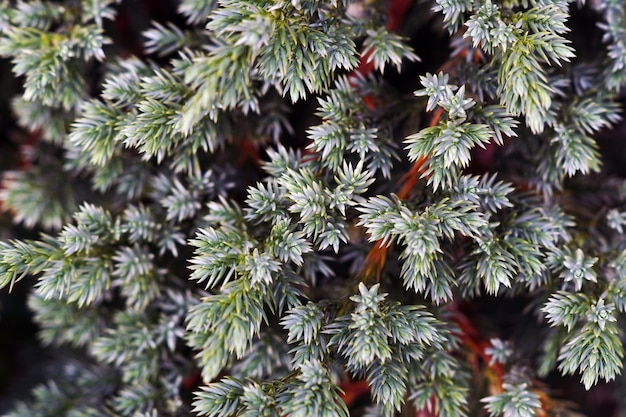 Juniperus의 근접 촬영은 햇빛 아래 나뭇잎