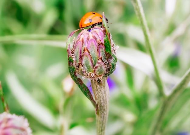 화창한 날 정원에 있는 꽃 봉오리에 무당벌레의 근접 촬영