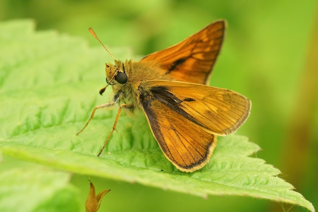 녹색 잎에 열린 날개를 가진 대형 선장(ochlodes sylvanus) 나비의 근접 촬영
