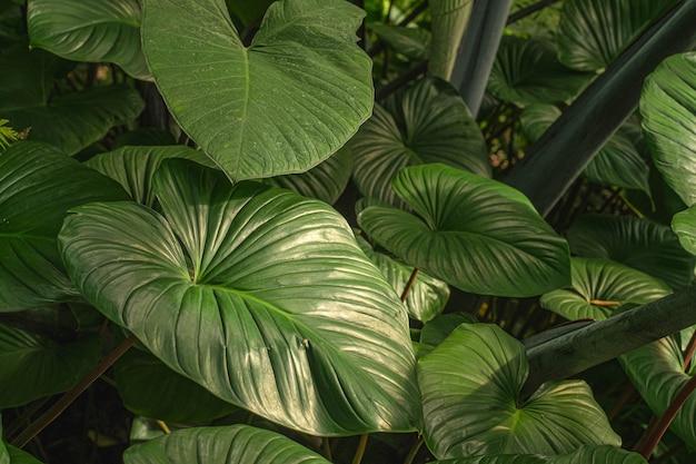 東南アジアの熱帯雨林の熱帯植物の葉のクローズアップ。緑の熱帯の葉のヤシ、シダ、観賞植物の背景の背景の暗い色調