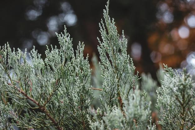 Крупным планом светло-зеленые вертикальные ветви туи с сфокусированными и размытыми частями.