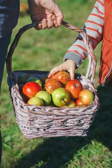 籐のバスケットから新鮮な有機リンゴを選ぶ少女の手のクローズアップ。健康食品と収穫時期の概念。