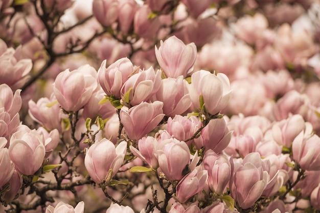 Крупный план деревьев магнолии, покрытых цветами под солнечным светом