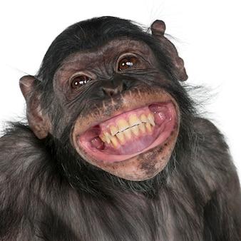 チンパンジーとボノボの笑顔の間の mixedbreed サルのクローズ アップ