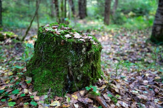 Крупным планом покрытый мхом пень с грибами наверху и сухие сосновые иглы в осеннем лесу, лесной субстрат, опавшая осенняя листва, сухие осенние листья, выборочный фокус на переднем плане
