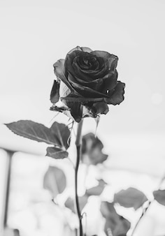 낭만적인 날짜와 발렌타인 데이에 이상적인 가시가 있는 천연 붉은 장미의 근접 촬영