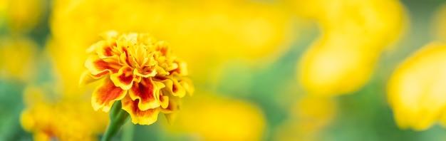 Крупный план природы желтый и оранжевый цветок на размытом фоне под солнечным светом с боке и копией пространства, используя в качестве фона естественный пейзаж растений, концепцию титульной страницы экологии.
