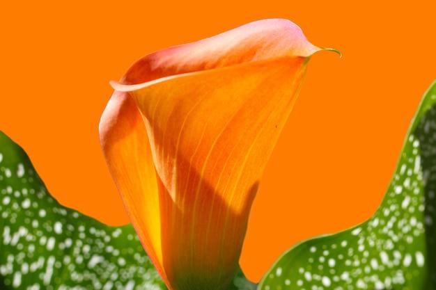 배경에 대한 주황색 bgroundcover에 녹색 잎이 있는 주황색 격리된 꽃 칼라의 근접 촬영