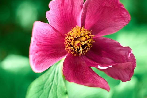 ピンクのコスモスの花のクローズアップ