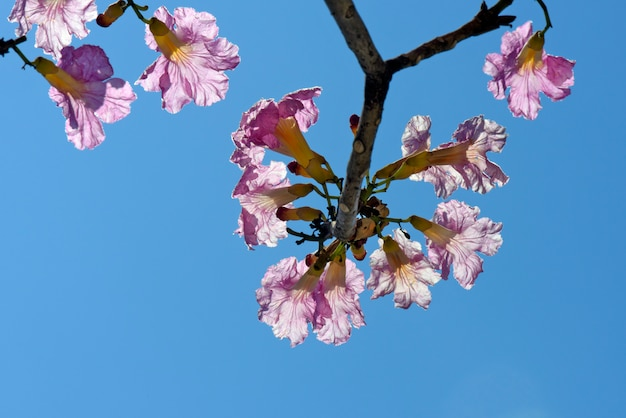 満開のピンクのラパチョツリーのクローズアップ