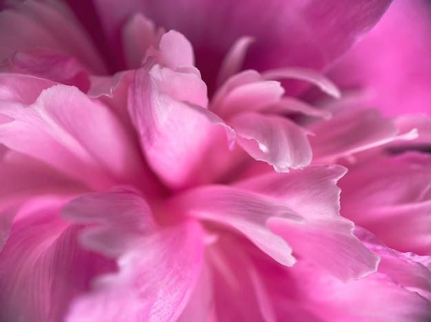Крупный план лепестков цветка розового пиона. естественный мягкий фон для ваших дизайнов.