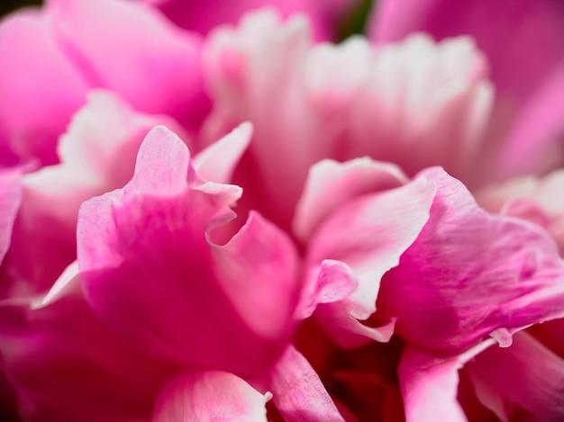 분홍색 모란 꽃 꽃잎의 근접 촬영입니다. 디자인을 위한 자연스러운 부드러운 배경입니다.