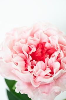 白い背景の上のピンクの牡丹のクローズアップ