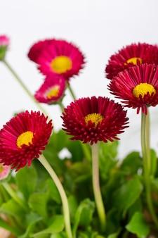 ピンクの春の繊細な小さなベリスデイジーの花のクローズアップ