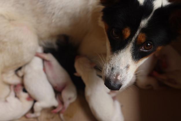 自宅で母犬と子犬のクローズアップ彼のお母さんからミルクで胸を吸っている子犬