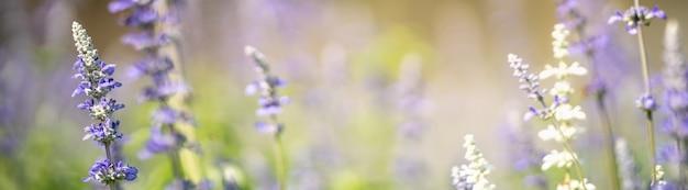 背景の自然植物の風景、生態学の表紙の概念を使用してコピースペースで日光の下でぼやけたジェリーンの背景に紫色のラベンダーの花のクローズアップ。