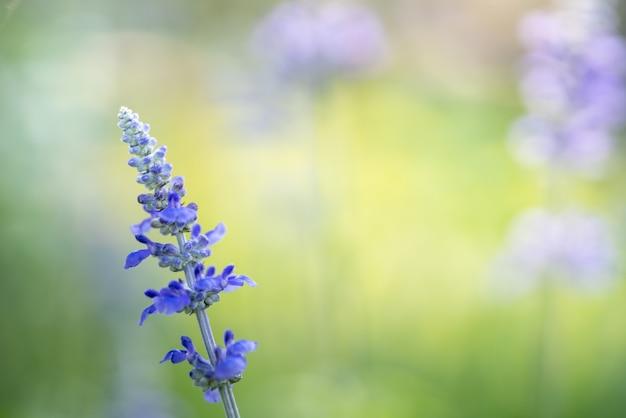 Крупным планом фиолетовый цветок лаванды на размытом фоне грин под солнечным светом с копией пространства
