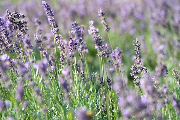정원에서 보라색 라벤더 꽃의 근접 촬영