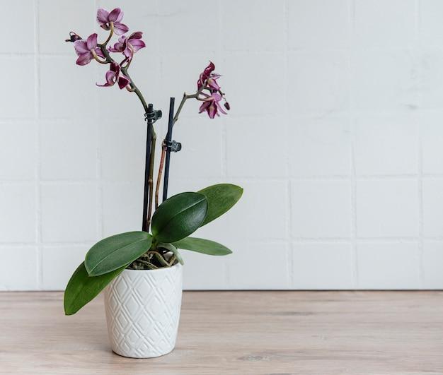 테이블에 냄비에 보라색 phalaenopsis 난초의 근접 촬영