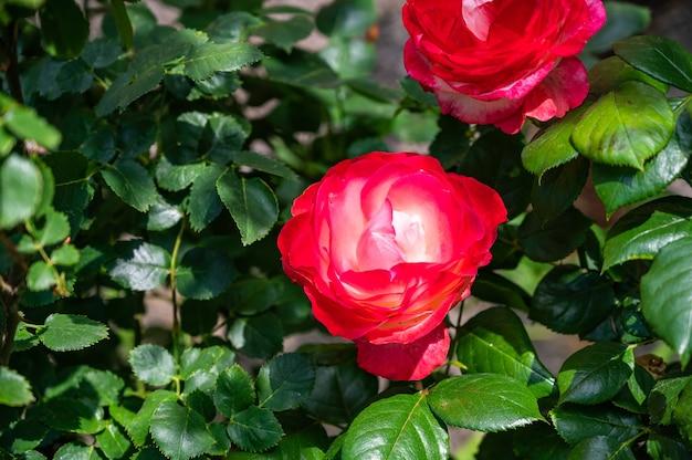 낮에 햇빛 아래 필드에 녹지로 둘러싸인 붉은 정원 장미의 근접 촬영