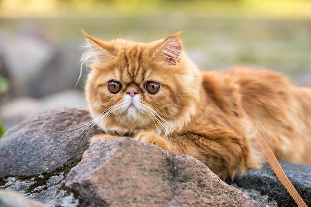 큰 주황색 둥근 눈을 가진 빨간 페르시아 고양이의 근접 촬영