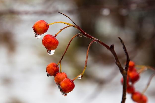 Крупным планом ягод красной рябины на голых ветвях с каплями воды после ливня