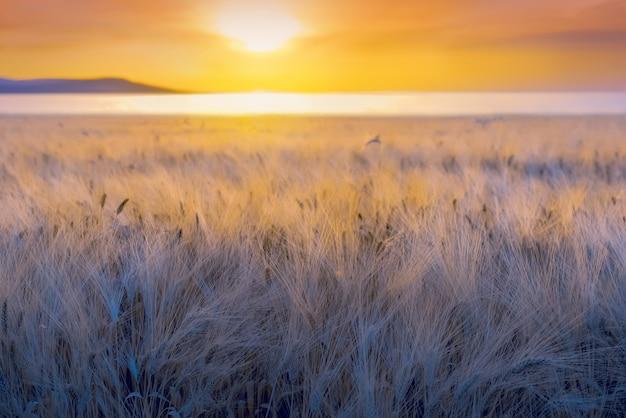 Крупным планом спелые уши ячменя с длинными пушистыми бородками в поле во время заката
