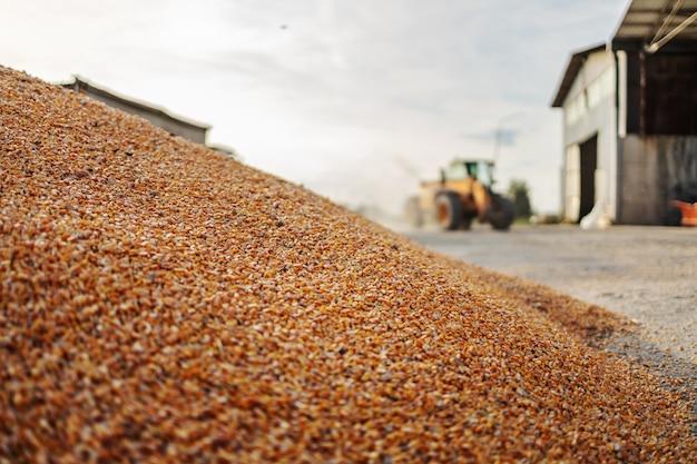 地面に熟したトウモロコシのクローズアップ。背景には納屋と車両があります。