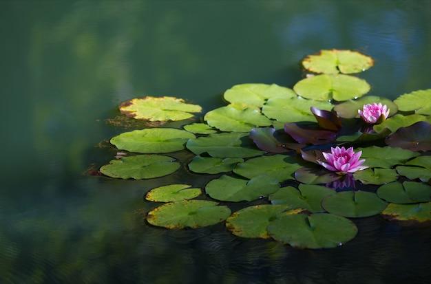 흐린 배경으로 햇빛 아래 호수에 신성한 연꽃의 근접 촬영