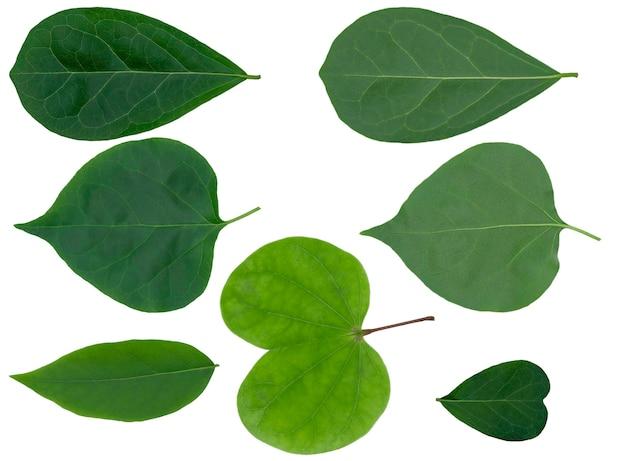 Крупный план набора зеленых листьев изолировал вырез на белой предпосылке с путем клиппирования.